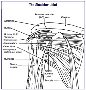 Shoulder Scapulae Diagram