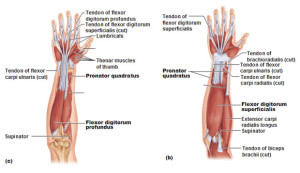 deep-anterior-muscles-of-the-forearm